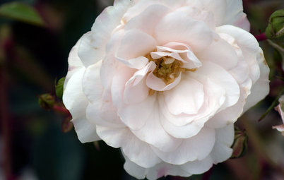 5 Favorite White Roses for a Purely Beautiful Garden