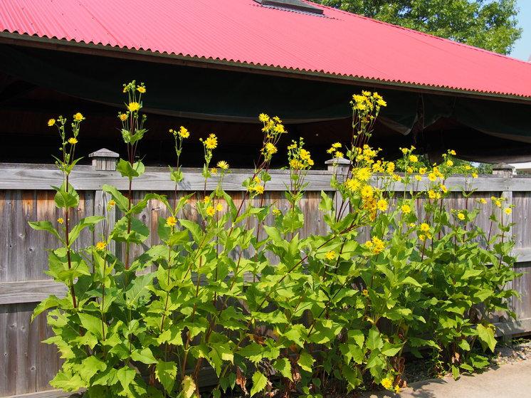 Landscape Silphium integrifolium (Rosinweed)