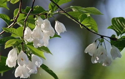 Great Design Plant: Halesia Tetraptera