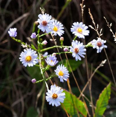 Landscape Sky-Blue Aster (Symphyotrichum oolentangiense)