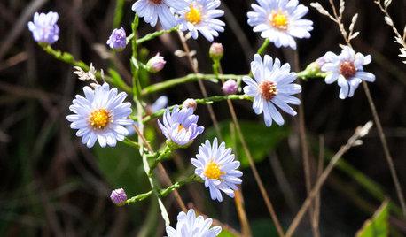 Great Design Plant: Skyblue Aster (Symphyotrichum Oolentangiense)
