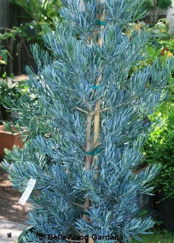 Podocarpus Ice Blue Houzz