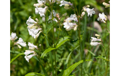Great Design Plant: Try Penstemon Digitalis for Showy White Blooms