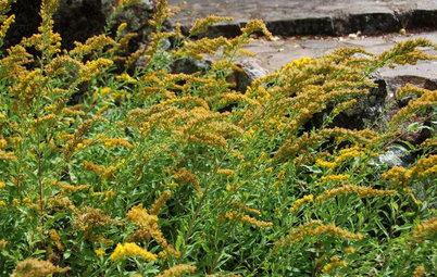 6 Native Goldenrods Worth a Second Look