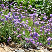 Glandularia Pulchella Trails Color Through the Drought-Tolerant Garden