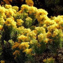 Great Design Plant: Ericameria Laricifolia