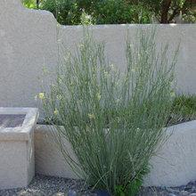 Great Design Plant: Asclepias Subulata