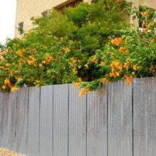 Tecoma x 'Orange Jubilee' Enlivens Southern Gardens
