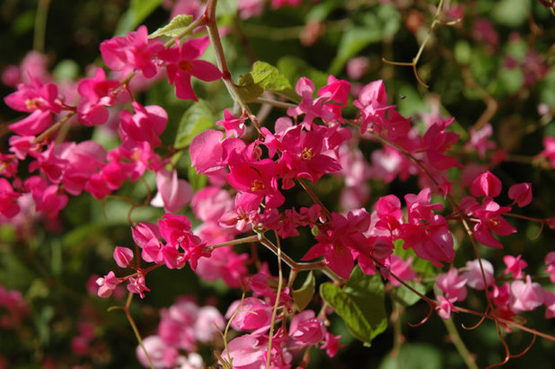 10 flowering vines for southwestern gardens southwestern landscape by noelle johnson landscape consulting mightylinksfo