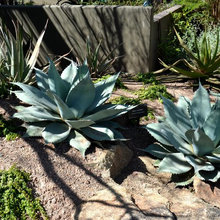 Great Design Plant: Agave Ovatifolia