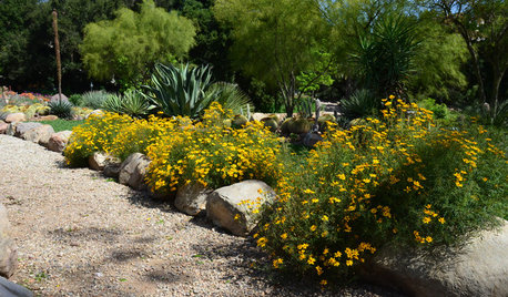 Lemmon's Marigold Brings Flowers to Desert Gardens in Spring and Fall