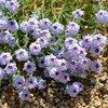 Great Design Plant: Glandularia Gooddingii