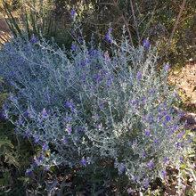 Great Design Plant: Teucrium Fruticans for Drought-Tolerant Gardens