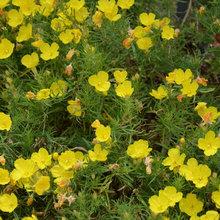 Hartweg's Sundrops Blankets Southwestern Landscapes in Yellow