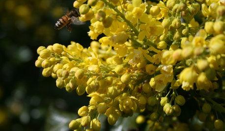 La plante du mois : Le mahonia, ou faux houx
