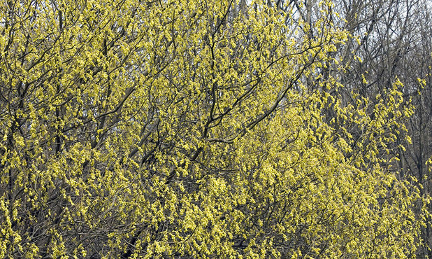 Contemporary Landscape Spike winter hazel (Corylopsis spicata)