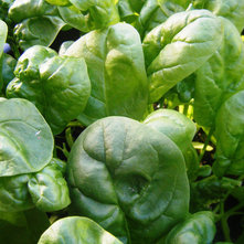 Traditional Landscape Spinach, Photo by Robin McDonald