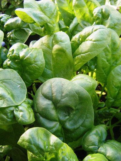 トラディショナル 庭 Spinach, Photo by Robin McDonald