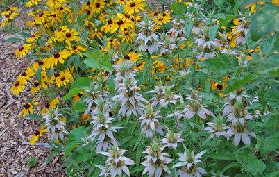 Great Design Plant: Spotted Beebalm (Monarda punctata)