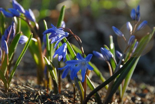 6 Splendid Blue Flowering Bulbs