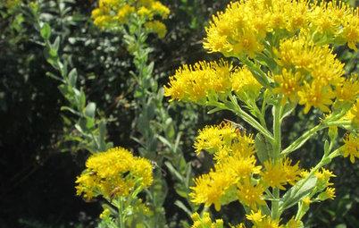 Great Design Plant: Oligoneuron Rigidum Brightens Fall Gardens