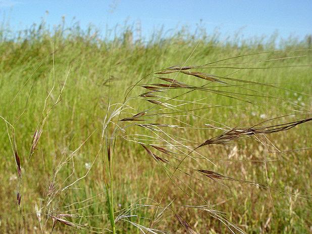 Needle grass