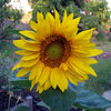 Summer Crops: How to Grow Sunflowers