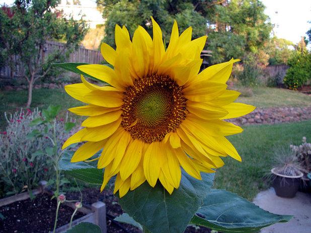 Landscape Sunflower