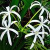 Great Design Plant: Crinum Americanum