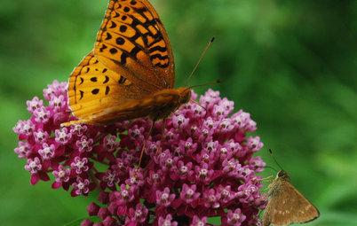 Great Design Plant: Asclepias Incarnata for a Butterfly Garden