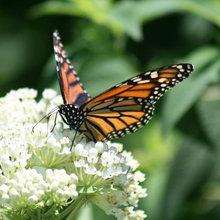 summer blooms for butterflies