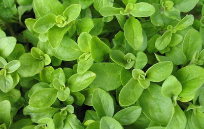 Herb Garden Essentials: Grow Your Own Oregano and Marjoram