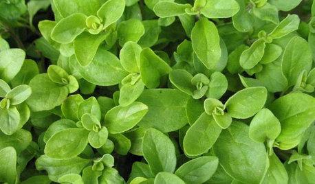 Herb Garden Essentials: Grow Your Own Oregano and Marjoram