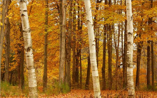 Landscape The four birches
