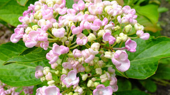 The Hydrangea Collection