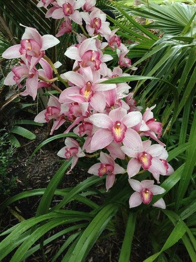 L abc delle orchidee i cymbidium abbelliscono interni ed esterni - Orchidee da esterno ...