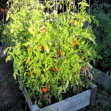 Landscape Tomatoes in raised bed