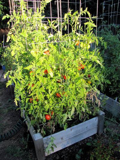Jardin Tomatoes in raised bed