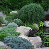 Great Design Plant: Juniperus Squamata 'Blue Star'