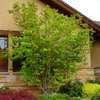 Great Design Plant: Vine Maple