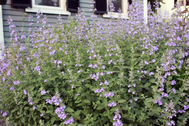 Garden 'Walker's Low' catmint (Nepeta x faasenii 'Walker's Low')