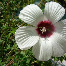 Landscape White Hibiscus (Hibiscus moscheutos)
