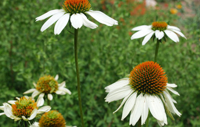 For Prairie-Style Charm, Plant a Beautiful Coneflower