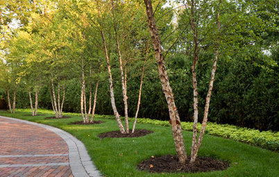 Great Design Plant: River Birch