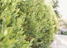 Type of tree / bush?