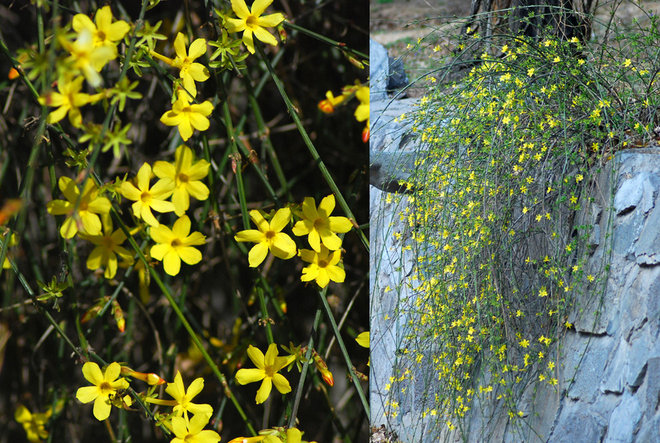 Landscape Winter jasmine (Jasminum nudiflorum)