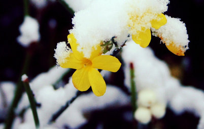 Great Design Plant: Winter Jasmine Gladdens Snowy Gardens