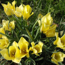 landscape 'Yellow Jewel' tulip (Tulipa batalinii 'Yellow Jewel')
