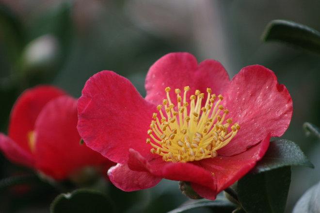 Yuletide Camellia information