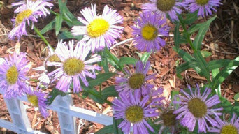 Breaking Ground in 2012 (Asters)